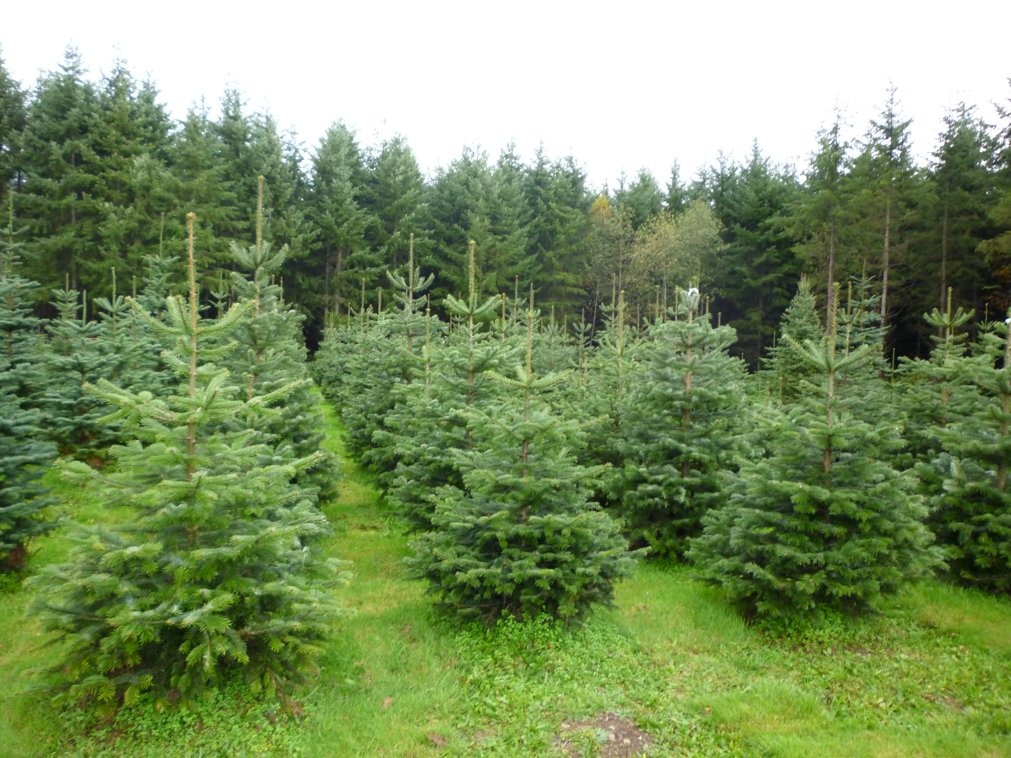 Where Christmas Tree Come From